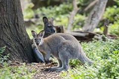 Wallaby Австралии в зеленой траве стоковые фотографии rf