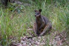 Wallaby болота сидя в австралийском кусте стоковое фото
