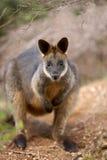 Wallaby болота Стоковые Фотографии RF