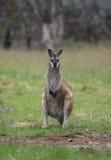 wallaby захолустья Стоковая Фотография RF