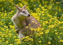 wallaby кенгуруа Стоковые Фотографии RF