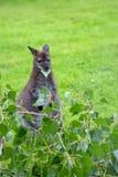 Wallaby кенгуру красно-necked в расчистке Стоковые Фото