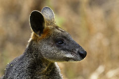 Wallaby на запасе холма башни в Виктории, Австралии Стоковые Фото