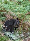 wallaby топи Стоковое фото RF