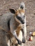 wallaby топи Стоковое Изображение