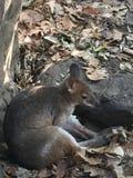 Wallaby утеса Австралия Стоковые Фото