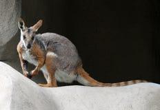 wallaby утеса стоковое изображение rf