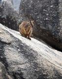 Wallaby утеса Стоковая Фотография RF