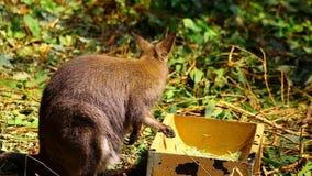 Wallaby утеса сток-видео
