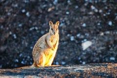 Wallaby утеса стоковые изображения rf
