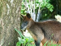 wallaby Images libres de droits