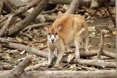 wallaby stockfotografie