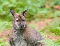 Wallaby Fotografia de Stock Royalty Free