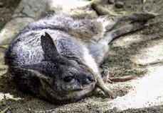 wallaby image libre de droits