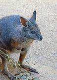 wallaby image stock