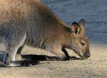 wallaby images libres de droits