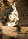 Wallaby Stock Images