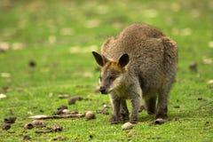 Wallaby stock photos