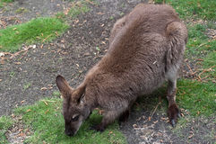 Wallaby Photographie stock