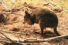 Wallaby. Picture of a wallaby eating royalty free stock photos