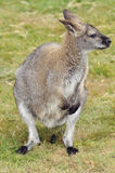 Wallaby Royalty Free Stock Photo