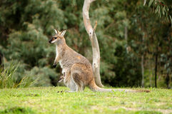 Wallaby Fotos de Stock Royalty Free
