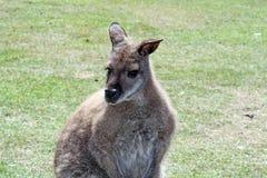 Wallaby Royalty-vrije Stock Afbeeldingen