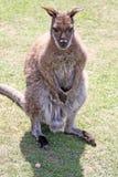 Wallaby Royalty-vrije Stock Foto