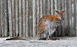 Wallaby. A wallaby in front of a fence Royalty Free Stock Image