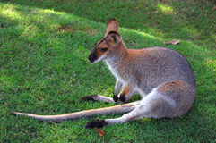 Wallaby. Is sitting on its tail Stock Photo