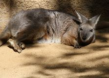Wallaby Imagem de Stock Royalty Free