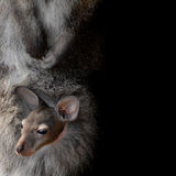 Wallaby. Little cute wallaby joey in pouch Stock Images