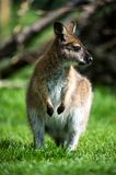 wallaby Obrazy Stock