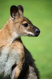 Wallaby Royalty Free Stock Images