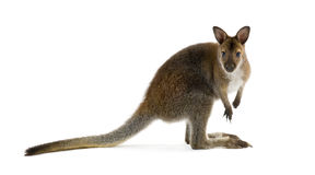 Wallaby Royalty Free Stock Photos