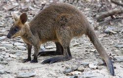 Wallaby zdjęcie stock