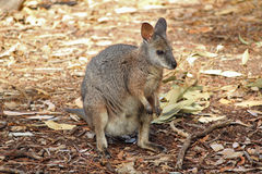 Wallaby Stockbilder