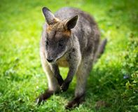 Wallaby Fotografia Stock