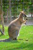 Wallaby obraz royalty free