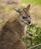 wallaby Fotografie Stock Libere da Diritti