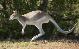 wallaby Photos libres de droits