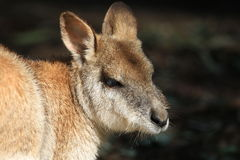 wallaby Photographie stock libre de droits