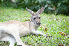 wallaby Foto de Stock Royalty Free
