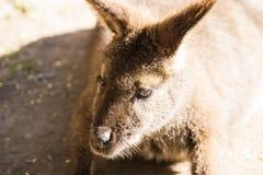 wallaby Fotografia Stock Libera da Diritti