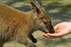 wallaby Стоковые Изображения RF