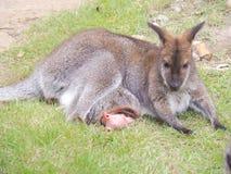 wallaby Photographie stock libre de droits