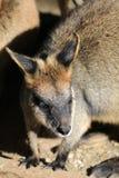 wallaby Imagens de Stock Royalty Free