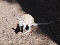 wallaby стоковые изображения