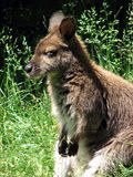 Wallaby immagine stock libera da diritti