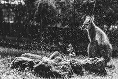 wallaby photos libres de droits